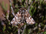 Lyng-dagugle (Anarta myrtilli)